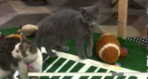 Kitten Bowl, la version féline et mignonne du Super Bowl