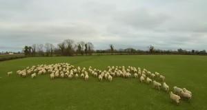 [Vidéo] Un drone pour remplacer les chiens de berger